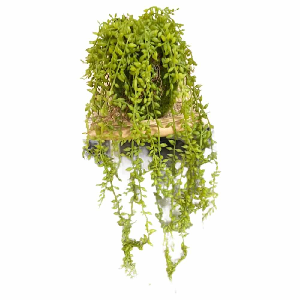 """Erbsenpflanze """"Senecio"""" zum Hängen"""
